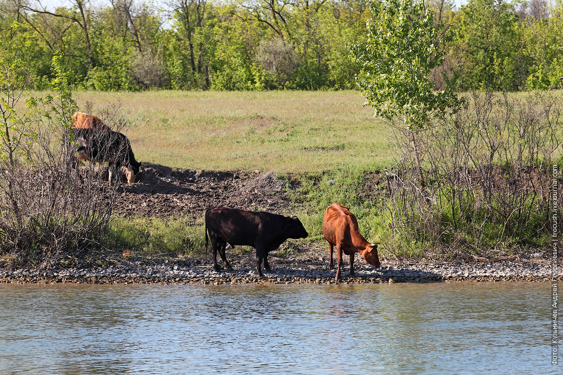 на юге все коровы коричневые или черные