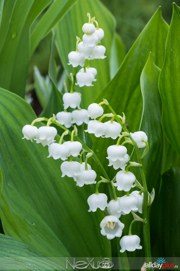 Я люблю все цветы, выпуск 169 | Ландыш - «лилия долин, цветущая в мае».