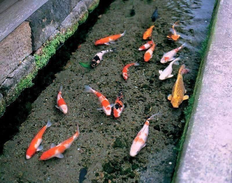 В японских сточных канавах живет рыба