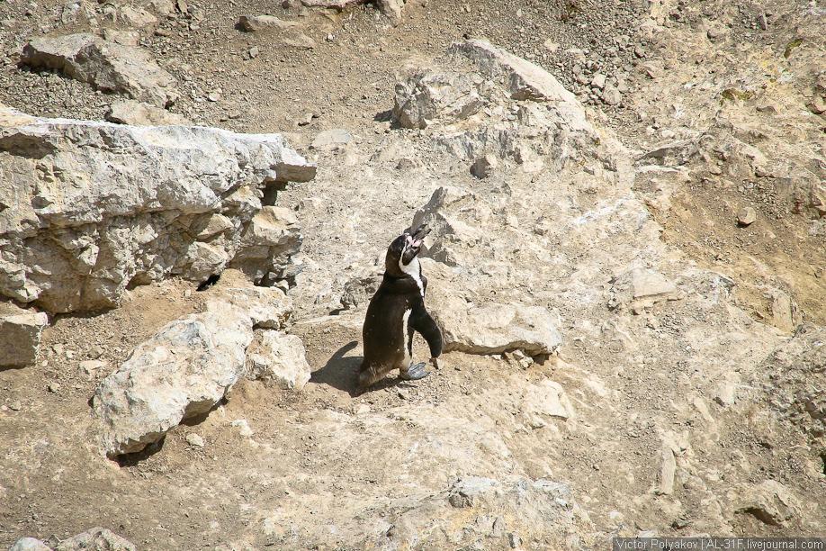 Пингвины. Мыс Сан-Фернандо. Перу