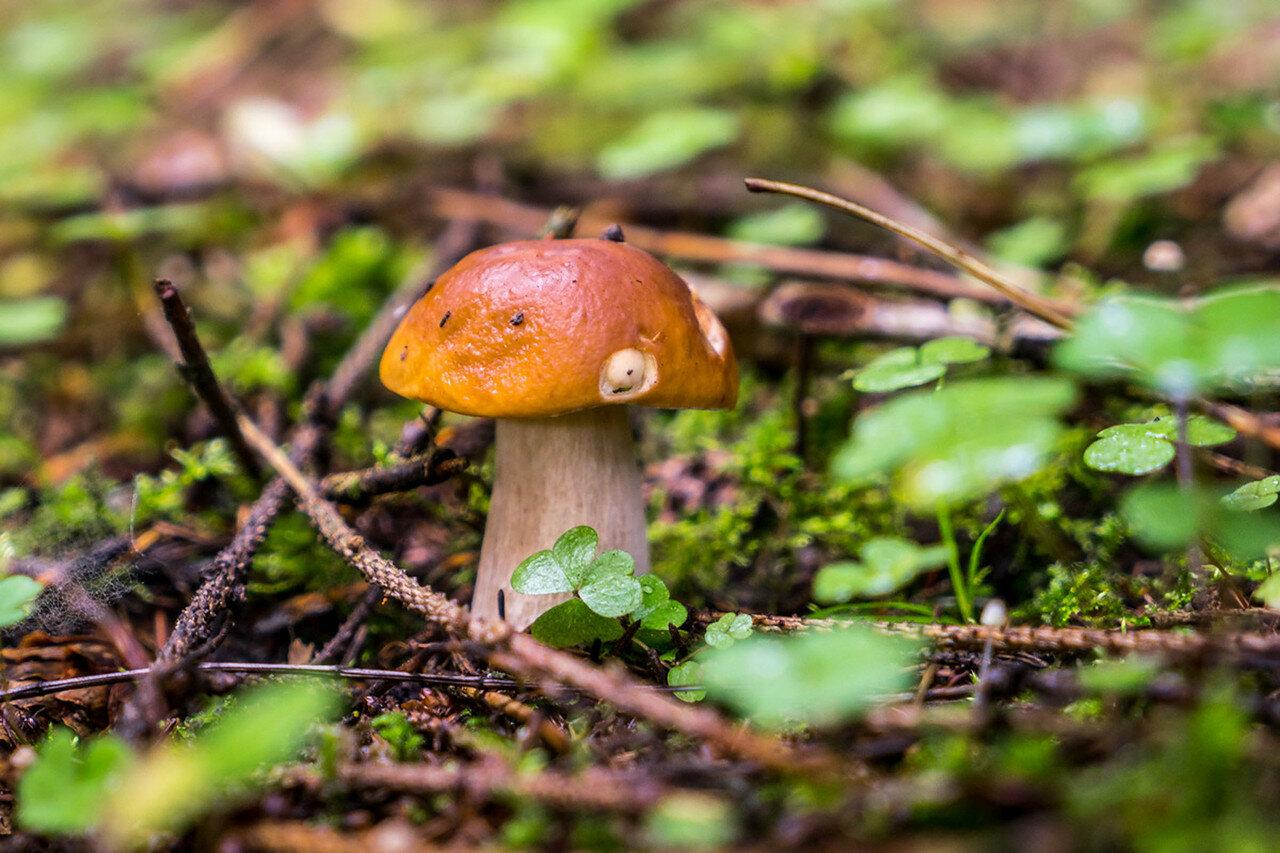 современного все грибы подмосковья фото с названиями днем
