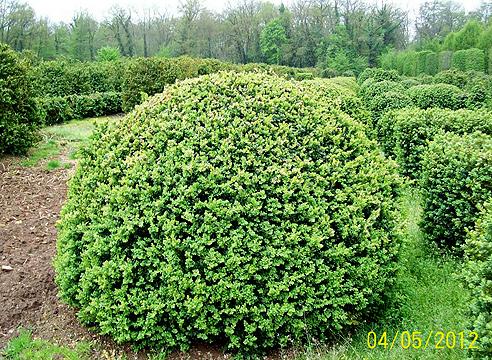 buis-boule-rotondifolia-017.jpg