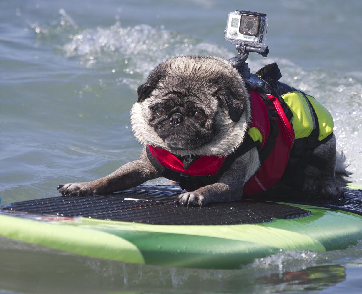 Собачий сёрфинг. Соревнования Surf Dog Surf-A-thon 2014 (15 фото) (15 фото)