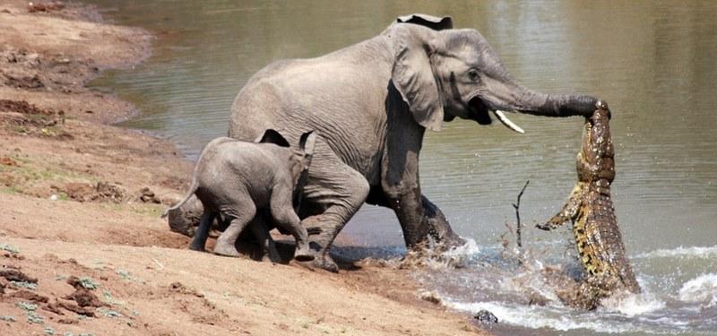 9. Слон против крокодила. Как-то раз в Замбии фотограф Мартин Найфелер решил запечатлеть маму со сло