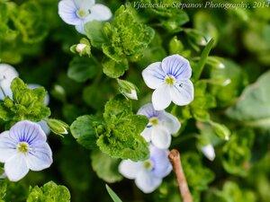 s:травянистые,лепестков 4,c:беловатые,c:белые,l:супротивные
