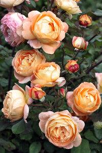 Кустарниковая роза Леди Эмма Гамильтон (Lady Emma Hamilton), David Austin 2005