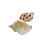 SD NV SEASHELLS 5.png