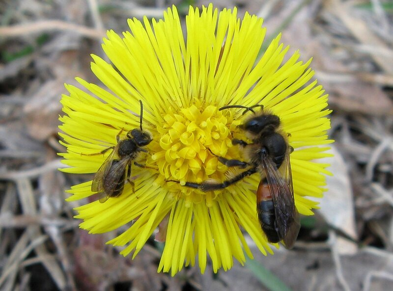 Андрена шиповниковая (Andrena rosae). Автор фото: Олег Селиверстов