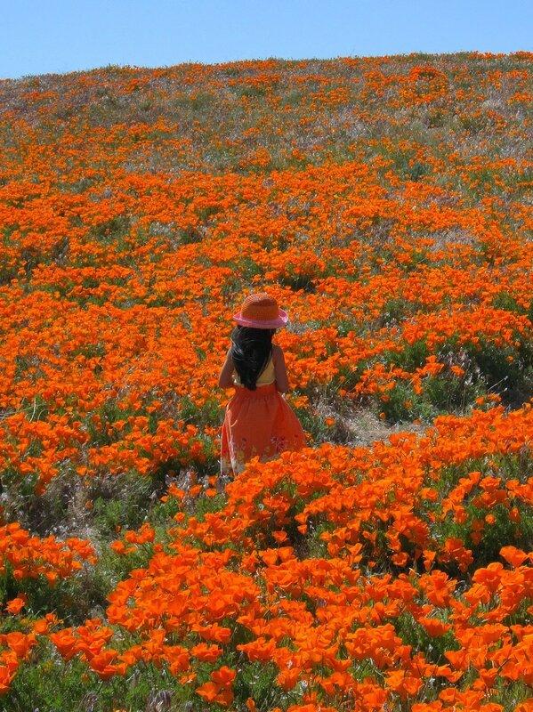 Антилоповая долина,в пустыне Мохави, Калифорния. Цветёт эшшольция, которую здесь называют калифорнийским маком.