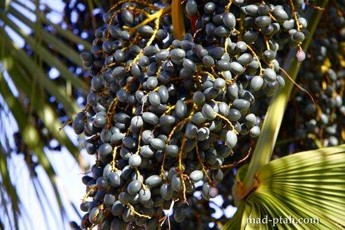 Тенерифе, Гарачико, оливки