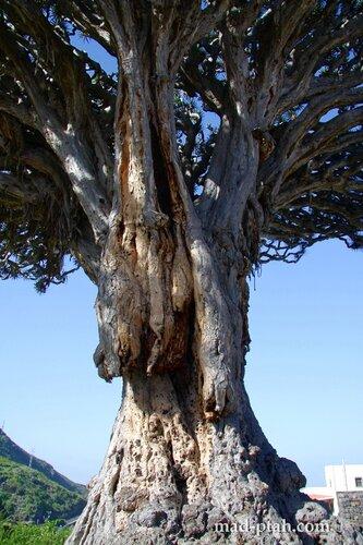 драконовое дерево, тенерифе, икод-де-лос-винос