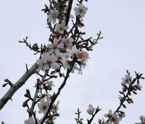 Цветет персик, 2 апреля 2011