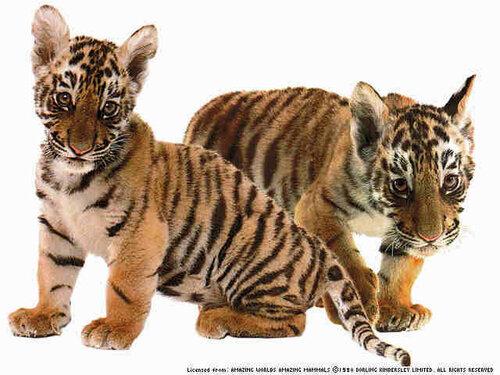 Классный троллинг двух тигров.