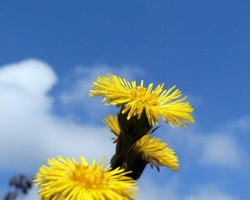 мать-и-мачеха цветёт