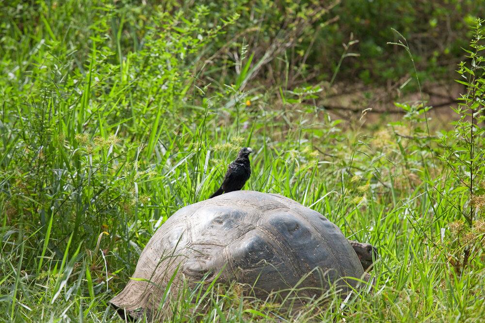 Кукушка и черепаха