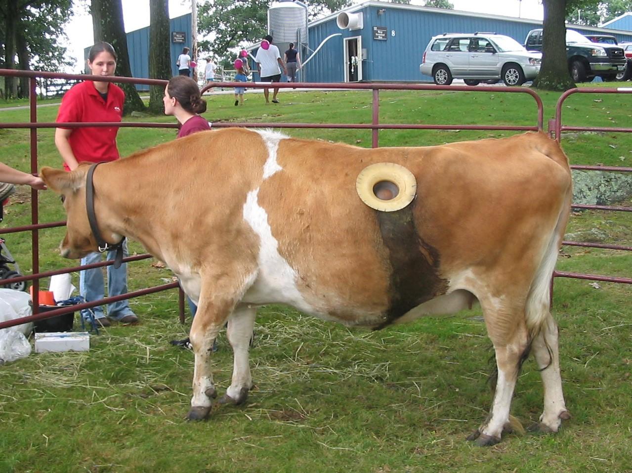 Корова с дыркой в теле