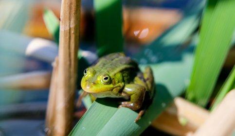 Ученые раскрыли секрет липкого языка лягушек