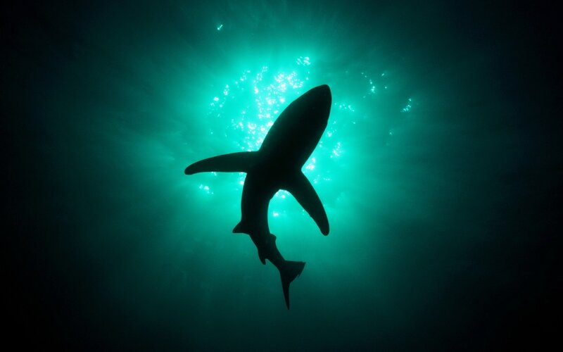 Silhouetted Blue Shark