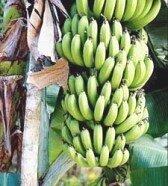 польза бананов для организма_pol'za bananov dlja organizma