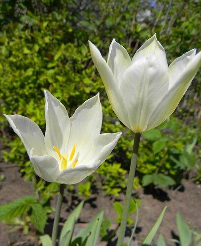 Лилиевидные тюльпаны.