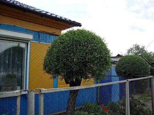 20110606 - Стрижка деревьев15