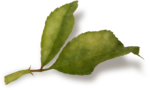 CreatewingsDesigns_LL_Leaf2_Sh.png