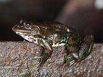 Астраханская лягушка