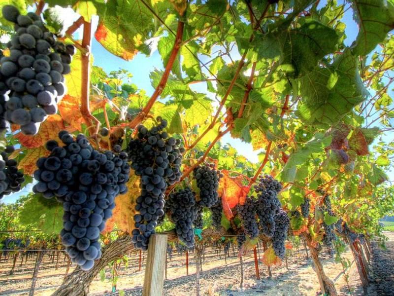 культивирование винограда