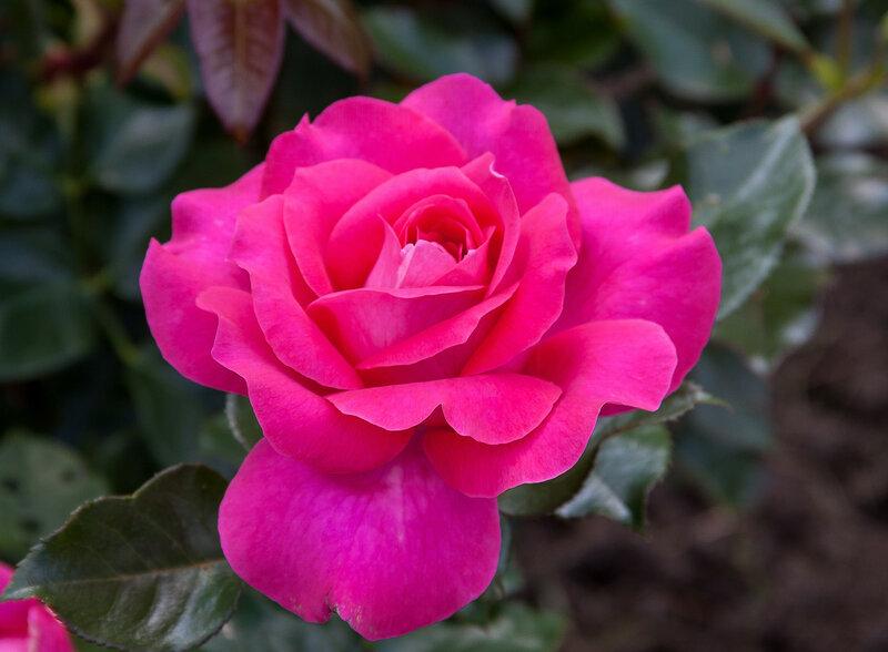 До чего сняться розы
