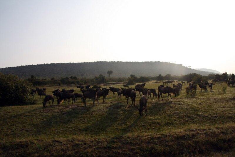 Cезон миграций животных в кенийском парке Масаи-Мара