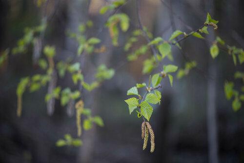 Альбом:  Флора Вятского края Мой плантариум Деревья Автор фото: Владимир Брюхов