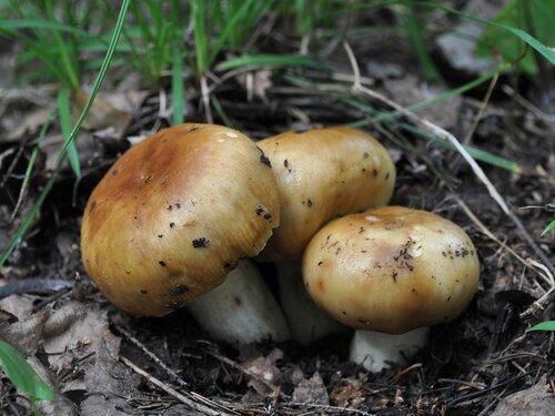 Валуй (Russula foetens) Автор фото: Владимир Брюхов