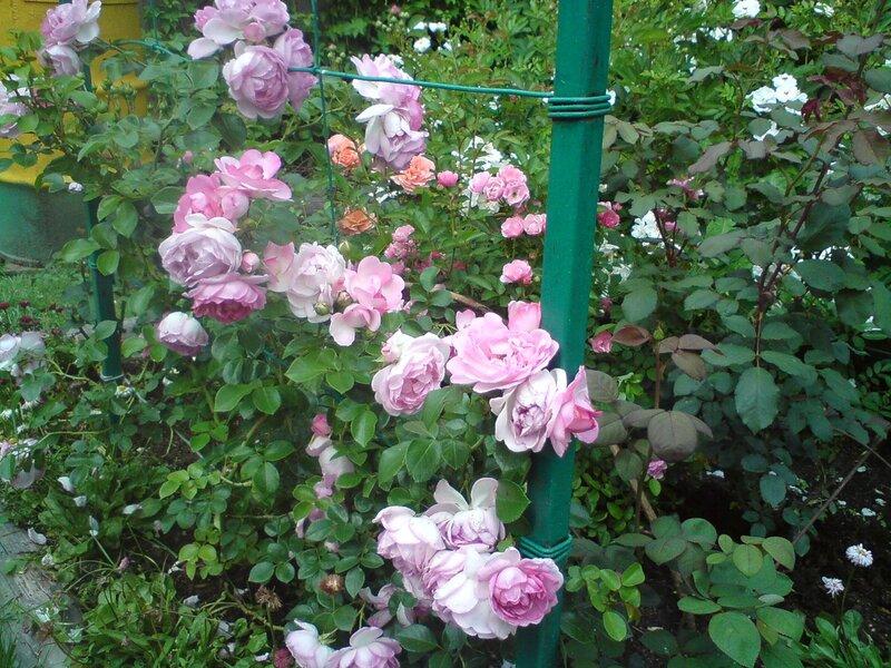Плетистая роза жасмина 2