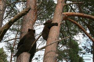 Утро в сосновом бору. Медвежата
