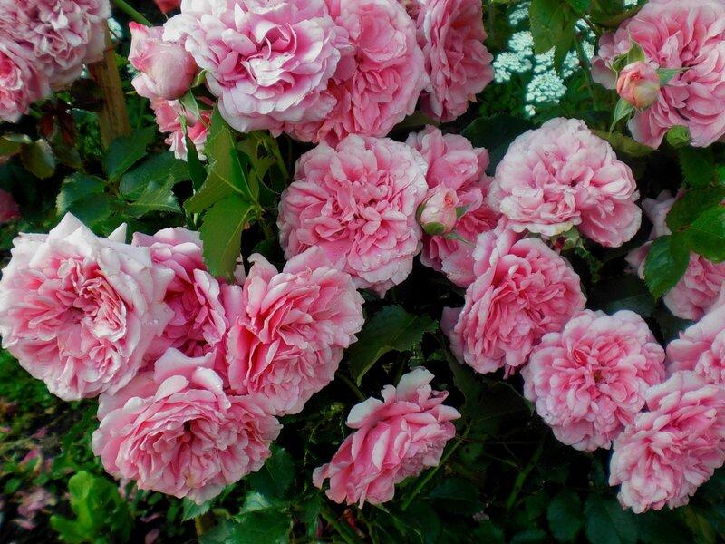 Цитата.  Мне очень нравятся пионы, но по отзывам эти цветы быстрее всех вянут.  Пионовидные розы Остина, в таком...