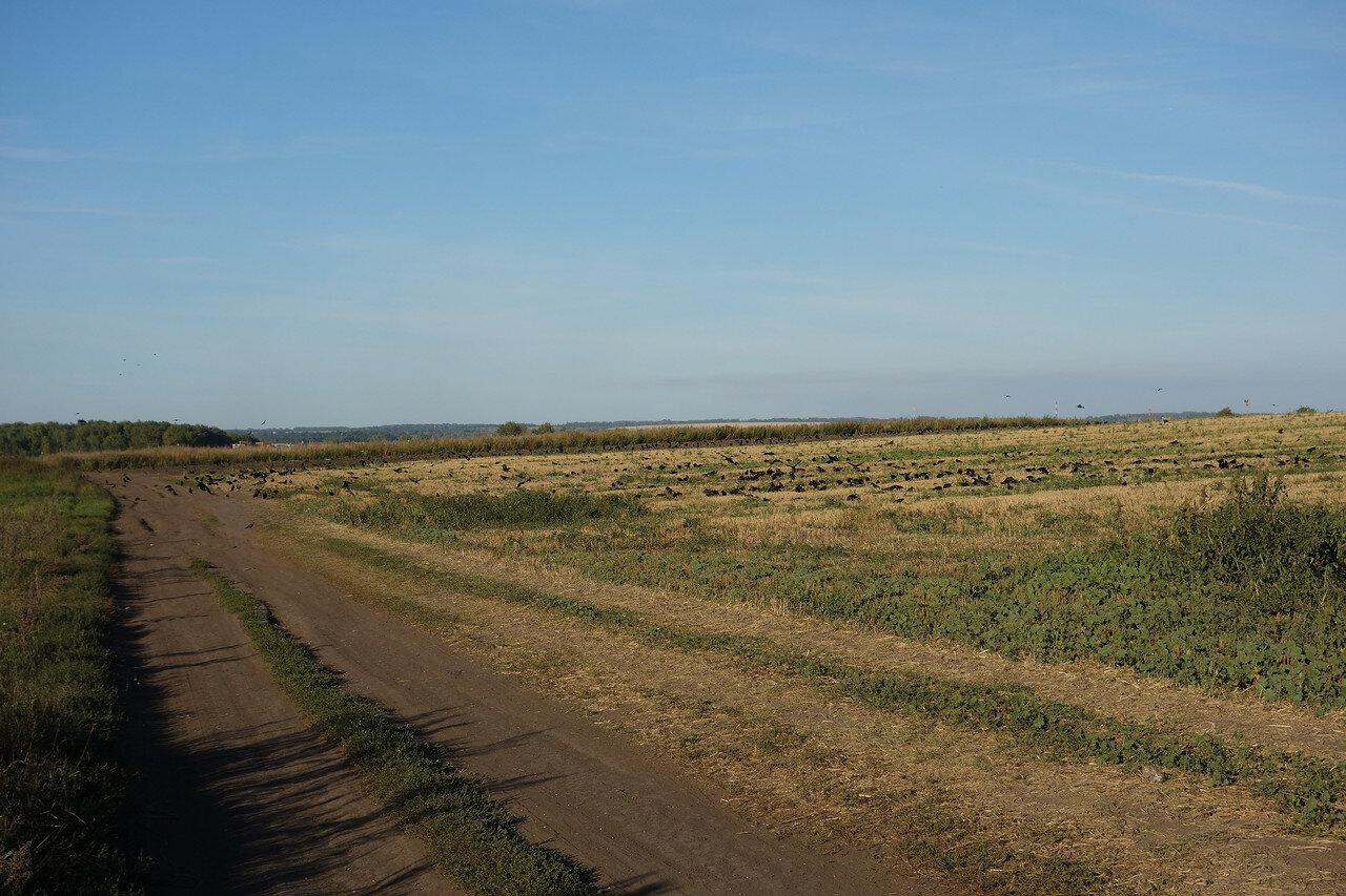сотни воронья на полях