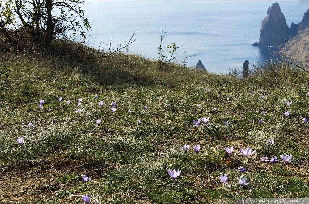 осенние цветы на Фиоленте