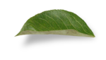 natali_design_apple_leaves15-sh (2).png