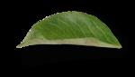 natali_design_apple_leaves15-sh (2).png