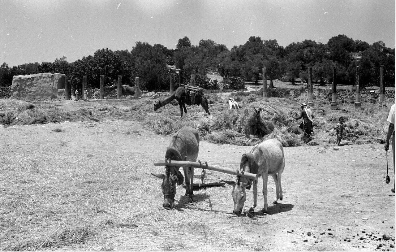 Ослы пасутся, в то время как мужчины нагружают верблюдов сеном