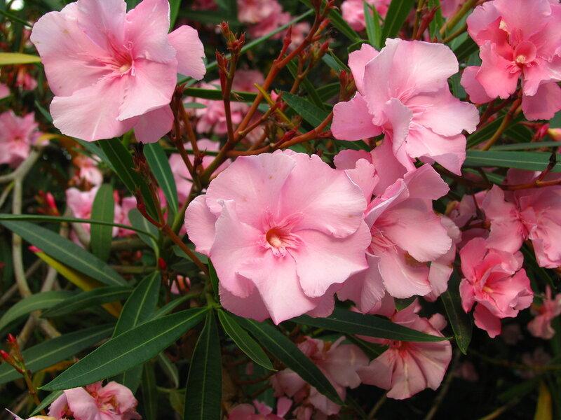 Ядовитые цветы в сочи