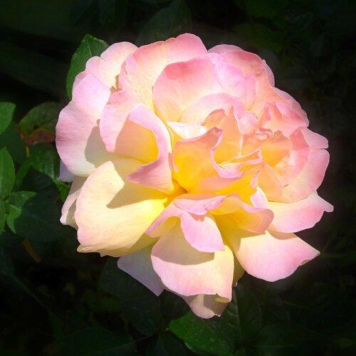 Крым,Алупка,осень,розы