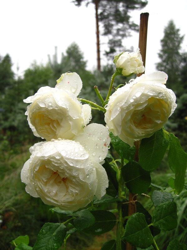Розы Дэвида Остина - моя первая и самая большая Любовь.  Фотографии в альбоме.