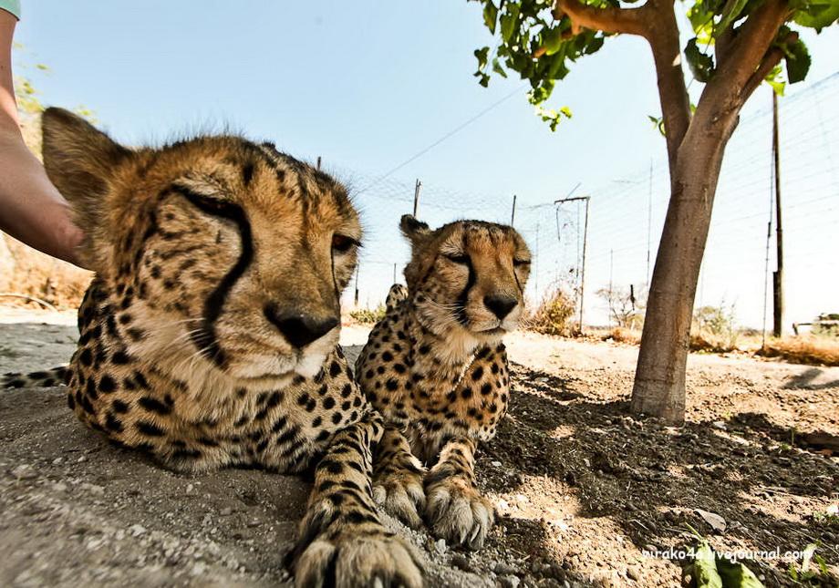 Гепарды были обучены крепко