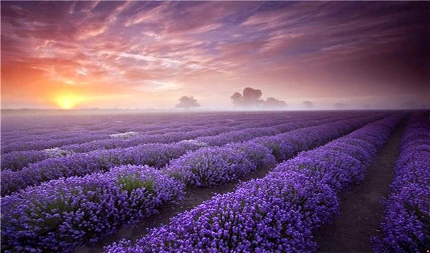 Purple landscapes of Provence_2