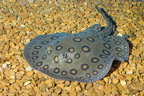 Как правило, рацион хищника составляют животные с прочным скелетом, панцирные рыбы и ракушки.