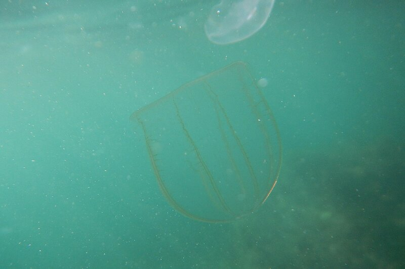 плоская медуза мнемиопсис (Mnemiopsis leidyi) с бегающими по ней огоньками (Чёрное море, мыс Фиолент)