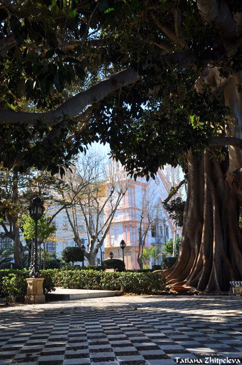 вековое ходячее дерево