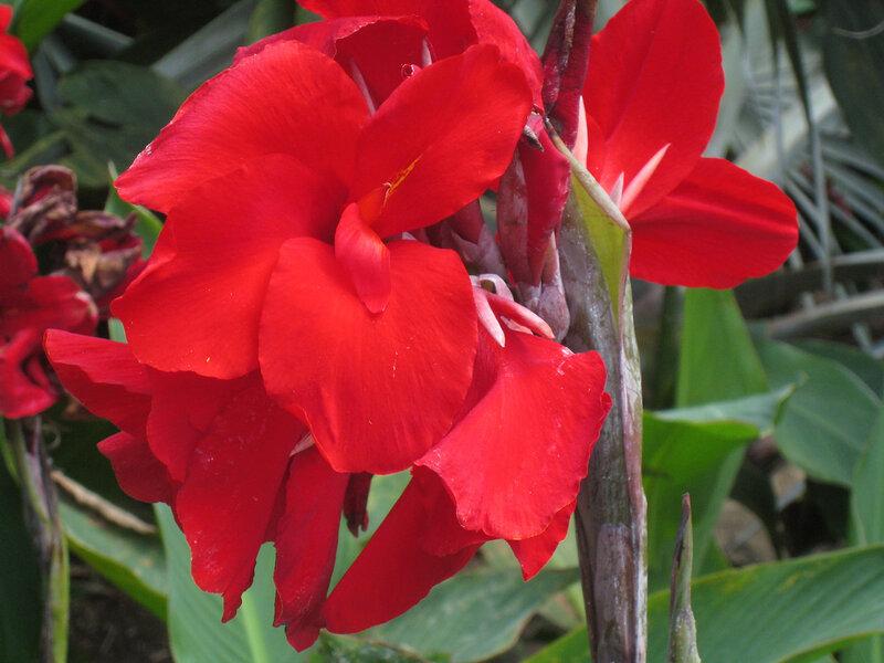 Канны цветы описание и фото