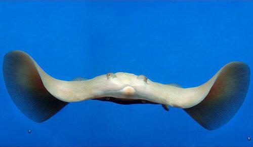 Ромбовый скат-альбинос